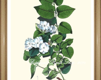 "Botanical Print, Jasmine, White Flower Print. 5x7"" 8x10"" 11x14"""
