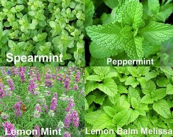100+ ORGANIC Mint Mix 4 Varieties Heirloom NON-GMO Spearmint Peppermint Melissa