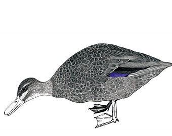 Duck Note Card, blank greeting card, small Art Print of Original Drawing suitable to frame