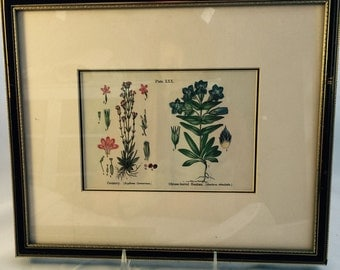 Botanical Print From Victorian England By Anne Pratt