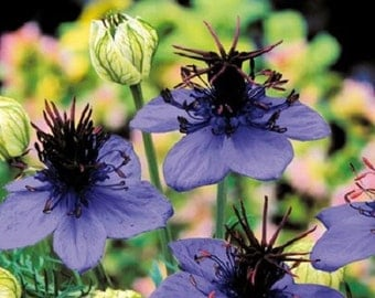 Nigella Love In The Mist Midnight Blue Flower Seeds / Annual 50+