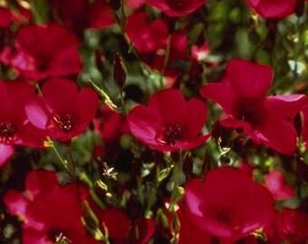 Scarlet Flax Flower Seeds / Linum Rubrum / Annual  75+