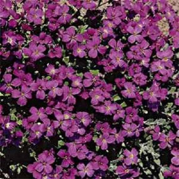 Purple Rock Cress Aubrieta Hybrida Hendersonii Flower Seeds