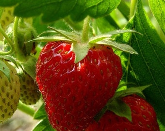 Strawberry Plant Groundcover Seeds (Fragaria Ananassa) 30+Seeds