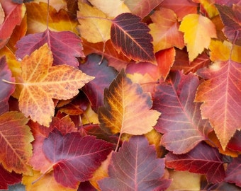 Orange and Red Fall Leaves Photograph | 8x10 or 11x14 Print