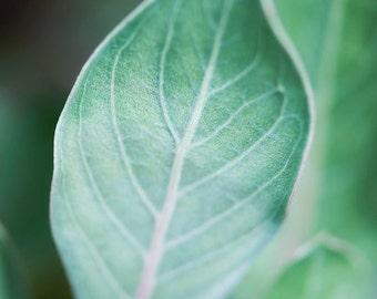 Blue Green Leaf Photograph   8x10 or 11x14 Print