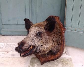 Huge Antique french wild boar taxidermy c1930