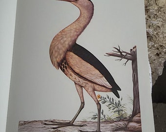 """The little Bittern """"Plate colour"""" annotated Illustration / Museum natural history"""
