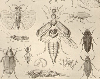 1903 Antique Insects Print Entomology Double Page Original Lithograph Book Plate