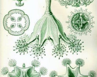 Haeckel Stauromedusae