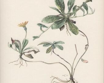 Botanical Print, Hieracium Pilosella officinarum, Mouse-ear Hawkweed, Flora Illustration, 1950's Vintage Botany Print, Wildflower Lithograph