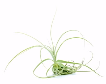 Tillandsia Straminea Air Plant // Hello Tilly Airplant
