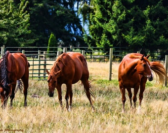 Redheads in the pasture