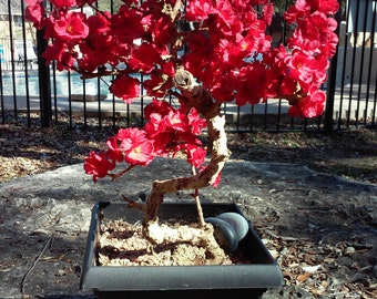 Bonsai tree preserved blooming red flowers