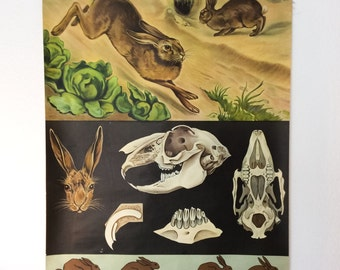 Chart canvas, vintage, zoology, school chart, 1960, Hare / rabbit