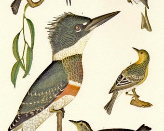 Natural History Print Alexander Wilson's Kingfisher Illustration to Frame or for Paper Arts PSS 2401