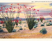 Vintage Southwest Postcard - Ocotillo in Bloom on the Desert (Unused)