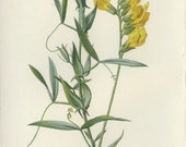 Wild Flower Botanical Print, Meadow Vetchling, Country Cottage Decor, Yellow Flower Print, Woodland, Edward Hulme, Antique Reproduction