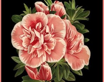 antique french botanical print pink azalea flower imperatrice des indes illustration digital download