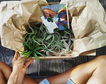 Air Plant Box // Tillandsia bundle // Box of Air Plants, diy terrarium, tillandsia, home decor, airplants, plant, living decor, xerographica