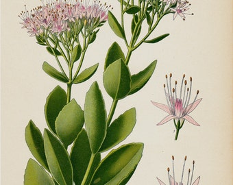 1896 Antique BOTANICAL print, lovely chromolithograph of a Hylotelephium telephium (orpine, livelong, frog's-stomach, life-everlasting)