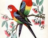 Pair of Eastern Rosella birds, Australian birds print, bird decor, vintage bird print