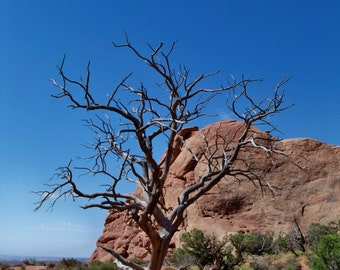 Photograph of Desert Tree -portrait style - Moab Utah - Canyonlands National Park tree photo