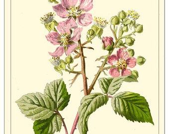 BRAMBLE -Art Card - Botanical print reproduction 2117