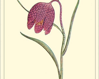 SNAKESHEAD FRITILLARY - Botanical print reproduction 2-113
