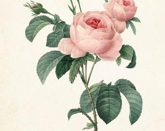 Redoute Rose Botanical Print No. 4 - Botanical Prints - Giclee - Canvas Art Print - Antique Botanical - Posters - Multiple Sizes