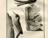 1803 Swiftlets Birds Print Buffon Original Antique Engraving Ornithology, La Salangane, Le Pic Verd
