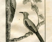 1803 Birds Print Woodpeckers Original Antique Engraving Ornithology from Buffon Natural History