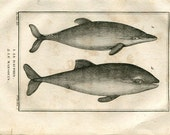 1804 Antique Print of Dolphins, Le Dauphin, Le Marsouin, Marine Mammals, Drawing by De Seve, Buffon