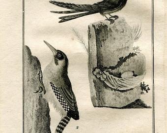 1803 Swiftlets Birds Print Buffon Original Antique Engraving Ornithology, La Salangane, Le Pic Verd
