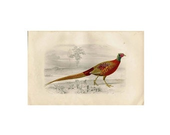 1885 Pheasant Original Antique Bird Print Buffon Hand Colored Engraving
