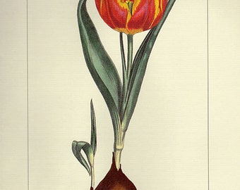 Vintage Botanical Print Antique Tulip Flowers, 8 red plant print botanical lithograph print bookplate wall art print flower plants