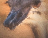 Ostrich photograph, Wild animal photography, Nature photography, Exotic animal photography, Digital colored pencil style