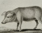 1826 Antique print of a domestic PIG. Swine. Hog. Pigs. 190 years old gorgeous Buffon copper engraving  .
