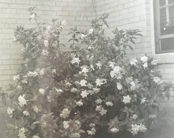 old black and white photo of yard with large gardenia bush and writing on back