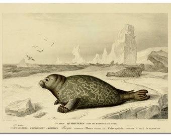 Harbor Seal Print, Harbor Seal Poster, Coastal Decor, Beach Life, Coastal Wall Decor, Sea Life Art, Coastal Decor Beach, Marine Life