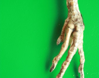 Decor - Talisman - Rare Natural Chicken Foot Charm - Lucky Chicken Foot