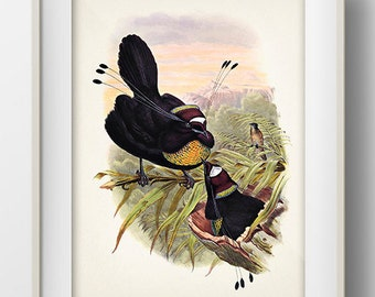 Western Parotia Bird of Paradise (Parotia sefilata) - BP-21 - Fine art print of a vintage natural history antique illustration