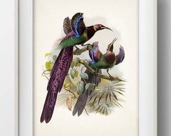 Elliot's Bird of Paradise - BP-07 - Fine art print of a vintage natural history antique illustration