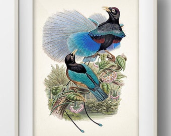 Blue Bird of Paradise (Paradisaea rudolphi) - BP-03 - Fine art print of a vintage natural history antique illustration