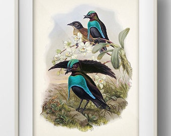 Superb Bird of Paradise (Lophorina superba) - BP-19 - Fine art print of a vintage natural history antique illustration