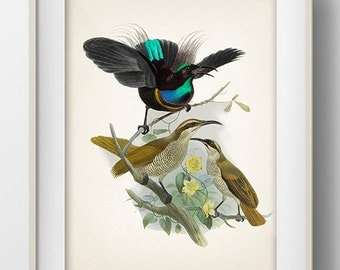 Magnificent Riflebird Bird of Paradise (Ptiloris magnificus) - BP-15 - Fine art print of a vintage natural history antique illustration