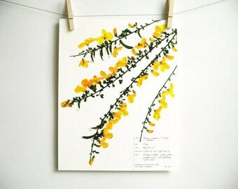 Scotch Broom Print, #125a, herbarium specimen art pressed botanical print yellow wildflower art dried flower art scientific wall art