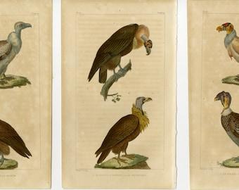 1830 Antique Bird Print - Egyptian Vulture Wall Art - Set of 3 Buffon Engravings Ornithology Natural History Decor - Christmas Gift Idea