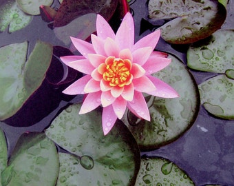 Rebirth and Optimism - Water Lily Greeting Card - Flower Photography - Blank Greeting Card with Envelope