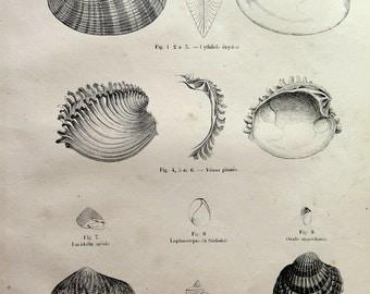 Antique MOLLUSK SHELL engraving, 1860 vintage bivalve engraving, clams Scallop sea marine life, rare mollusc shells invertebrate.